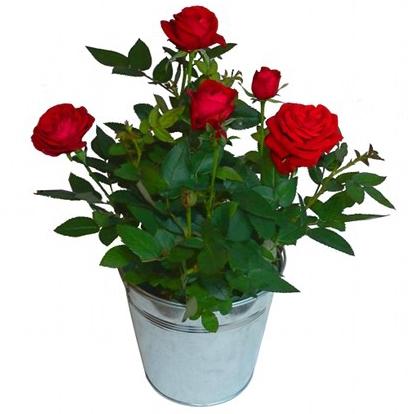 Mini rosier